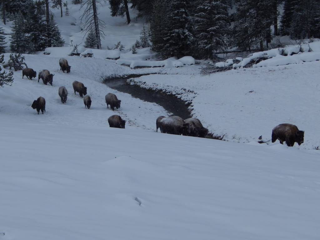 Bison Traveling along a waterway in Yellowstone