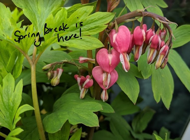 "Image of bleeding heart flowers and phrase ""Spring Break is here"""